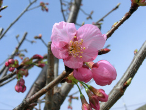 我が家の桜が開花