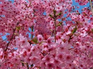 家の桜2015